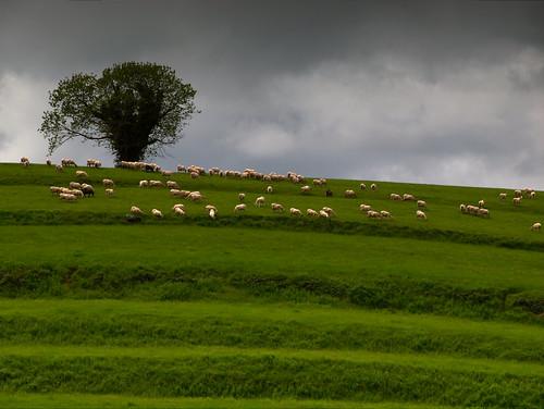 rural arbol prado oveja gpsyncr