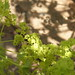 Small photo of Alchemilla mollis