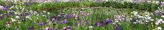 Japanese water iris / Iris ensata var. ensata / 花菖蒲(ハナショウブ)[19586 x 3632 = 71.1MP]
