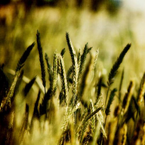 green texture nature nikon artistic wheat textures moosebite jrgoodwin
