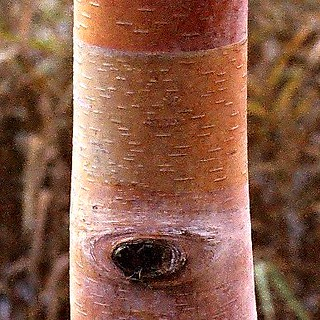 Striped Bark