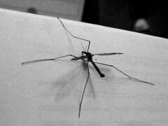 arthropod(1.0), animal(1.0), mosquito(1.0), wing(1.0), invertebrate(1.0), line(1.0), macro photography(1.0), monochrome photography(1.0), fauna(1.0), close-up(1.0), monochrome(1.0), black-and-white(1.0),