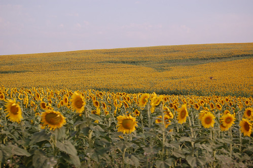 Spain 2010 - outside Sevilla - sunflowers