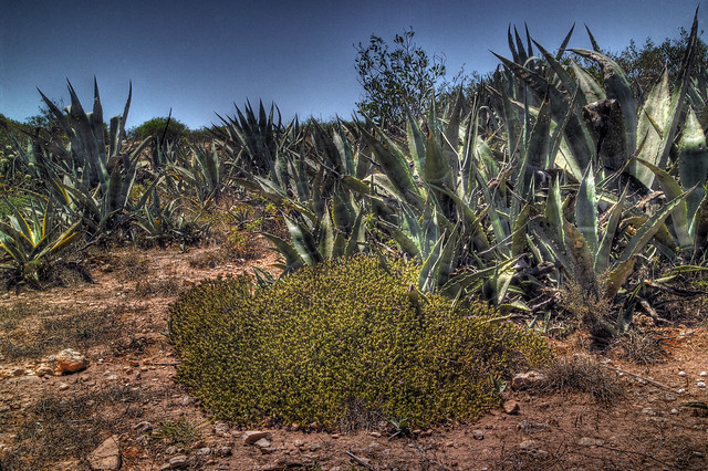 Agave and wild thyme