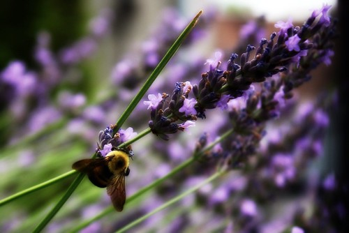 Lavendar and Bumble