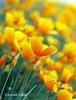 Yellow sea - Kalifornischer Mohn