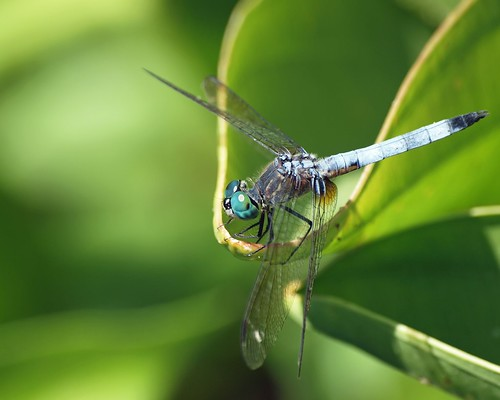 insect dragonfly © 70300mm odonata washingtonnc bluedasher garyburke olympuse620
