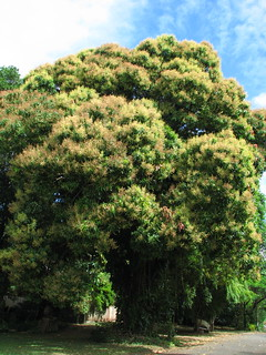 Large old mango tree in flower