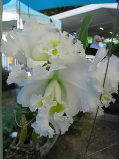 A white, frilled Cattleya hybrid