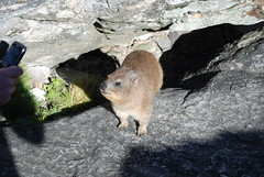 Table Mountain, Rock Hyrax (Dassie)