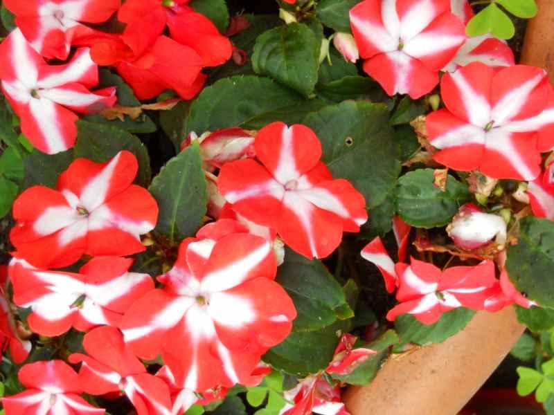 Petunia grandiflora 5