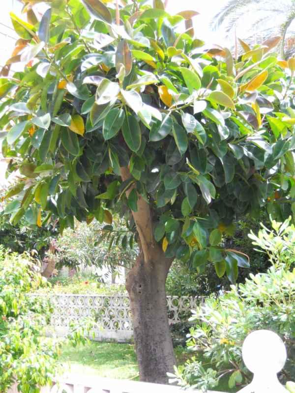 Jardineros en acci n ficus elastica for Hule para estanque