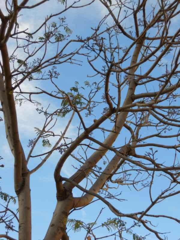 Jacaranda mimosifolia.. v 4