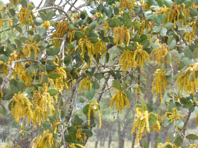 Quercus ilex flor 3