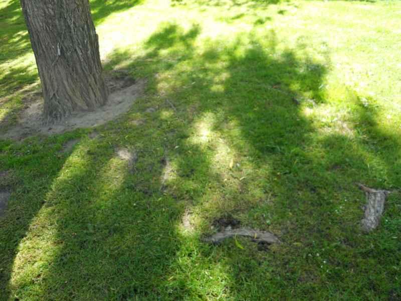 Salix alba 'Tristis' raíces 5
