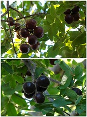 berry, branch, plant, damson, produce, fruit, food,