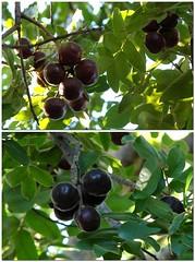 shrub(0.0), flower(0.0), tree(0.0), chokeberry(0.0), bilberry(0.0), berry(1.0), branch(1.0), plant(1.0), damson(1.0), produce(1.0), fruit(1.0), food(1.0),