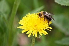 prairie(0.0), pollen(0.0), nectar(0.0), pollinator(1.0), animal(1.0), honey bee(1.0), dandelion(1.0), flower(1.0), yellow(1.0), nature(1.0), invertebrate(1.0), macro photography(1.0), membrane-winged insect(1.0), wildflower(1.0), flora(1.0), fauna(1.0), close-up(1.0), plant stem(1.0), bee(1.0), bumblebee(1.0), petal(1.0), wildlife(1.0),