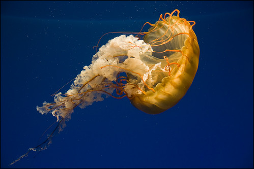 USA - Baltimore - National Aquarium (Pacific Sea Nettle)