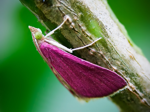 Southern Pink Moth