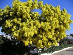 Acacia dealbata 01