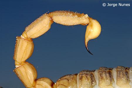 Aguilhão do escorpião/Foto: Jorge Nunes