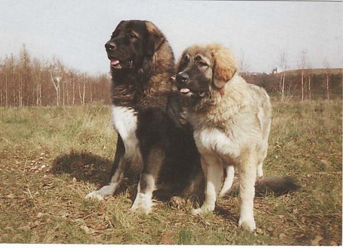 Caucasian Shepherd Dog - Postcard - 6