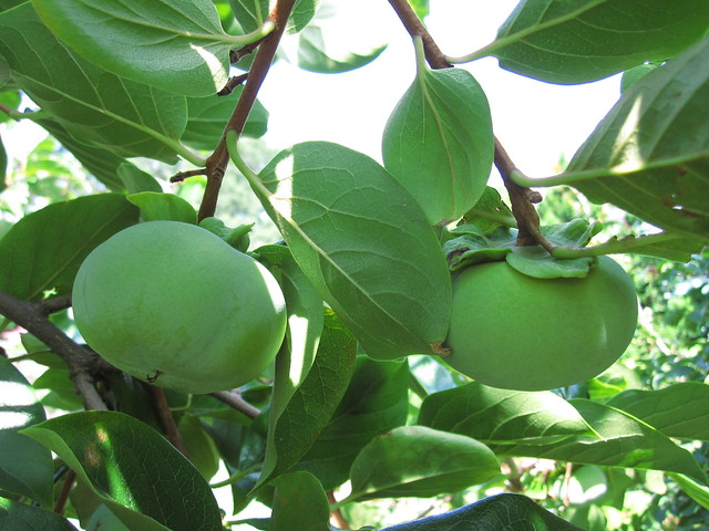 Japanese persimmon (Diospyros kaki) 'Fuyu' ripening in the Perennial Border. Photo by Rebecca Bullene.