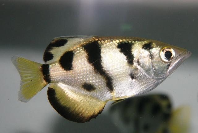 Banded Archerfish Flickr - Photo Sharing!