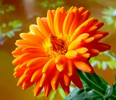 Mein Lieblingsfoto aus dem Jahr 2010. This Photo is my best loved of the Year 2010.  Calendulae ver. 2