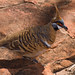 Spinifex Pigeon - Photo (c) Adrien CRETIN, some rights reserved (CC BY-NC-SA)