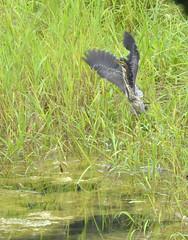 Green Heron, Indiana, PA