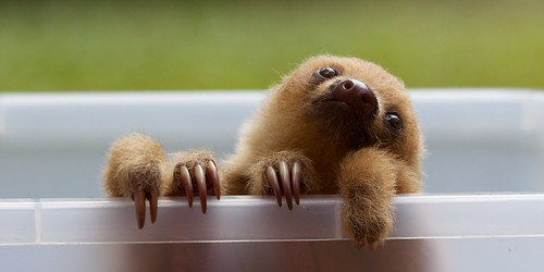 Two-toed baby sloth. Image courtesy Matt McGillivray on Flickr.