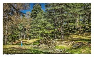 Pine Forest near Bab Berred باب برّد, Morocco.