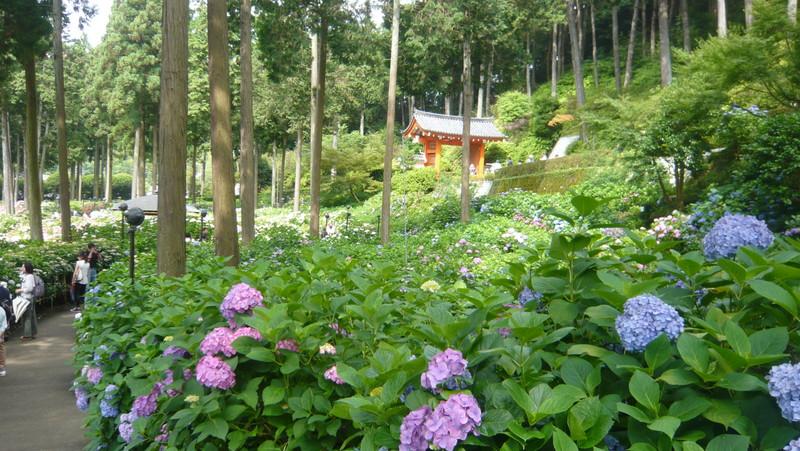 三室戸寺のあじさい 紫陽花