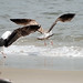 Small photo of Great Black-backed Gull