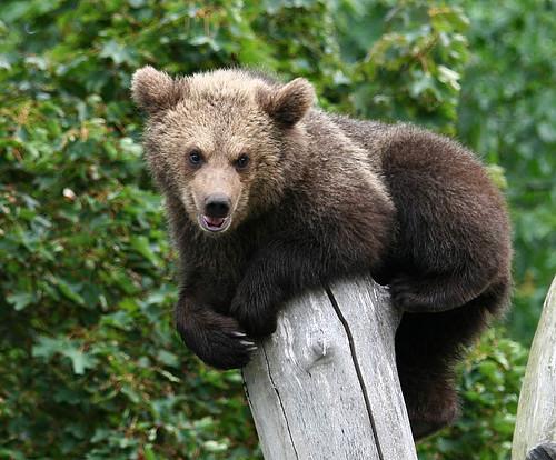 Brunbjörn - Ursus arctos