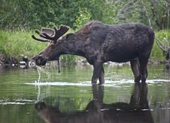 cattle-like mammal(1.0), moose(1.0), fauna(1.0), wildlife(1.0),