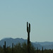 Small photo of Saguaro