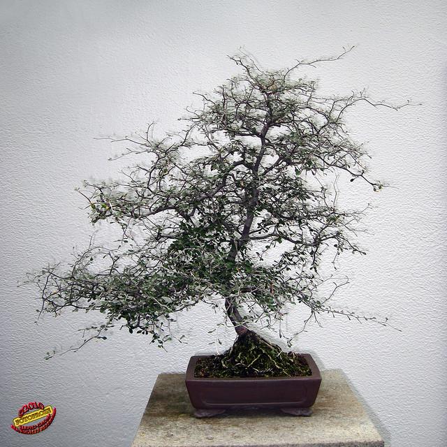 Bonsa penjing wire nettingbush corokia cotoneaster for Bonsai de jardin