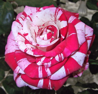 'Special Effects' Rose ~ First Place
