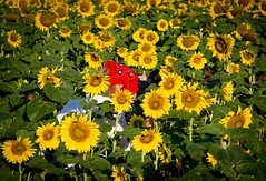 Mckee-Beshers Sunflowers 2010 -16