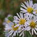 Pacific aster - Photo (c) Eric in SF, all rights reserved