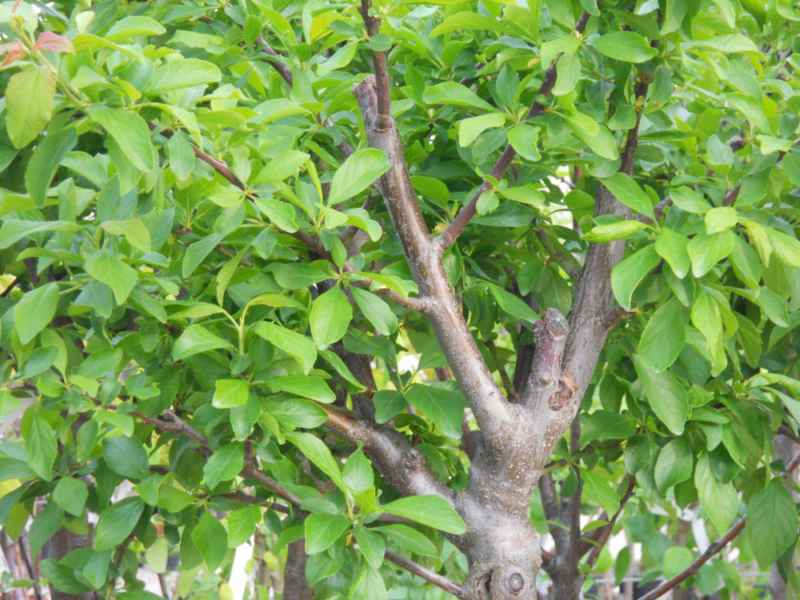 Prunus domestica 'Reina Claudia Verde' 1