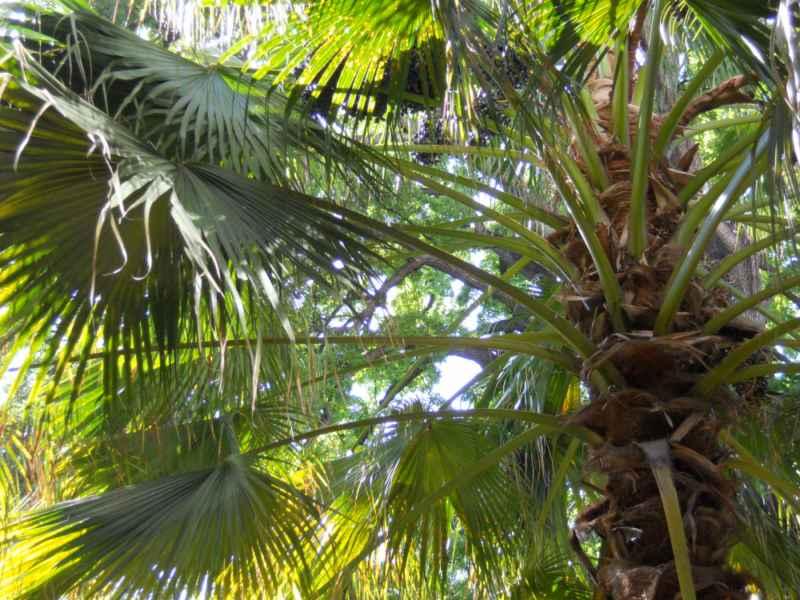 Plaga de picudo rojo en las palmeras