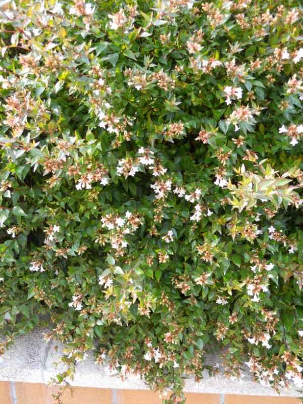 Abelia grandiflora v 1