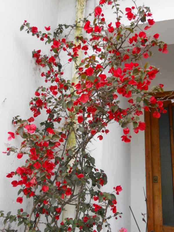 Bougainvillea hybrida 'Formosa' v 2