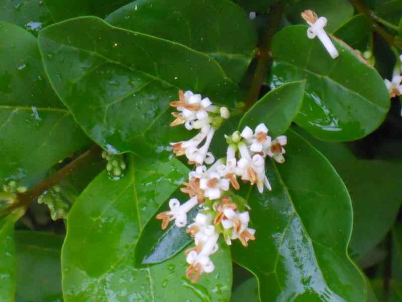 Ligustrum delavayanum flor 2