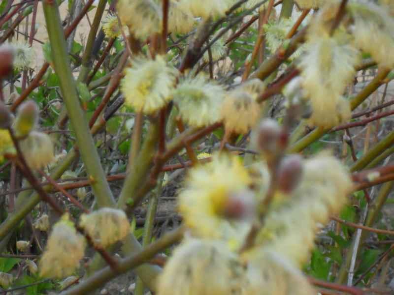 Salix caprea detalle 1