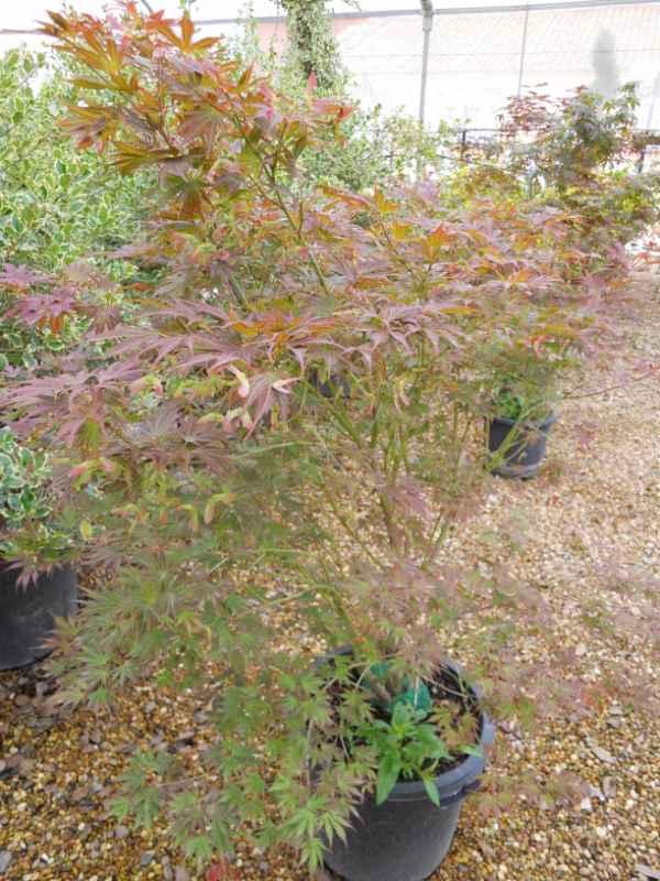Acer palmatum 'Atropurpureum' v 3.jpg